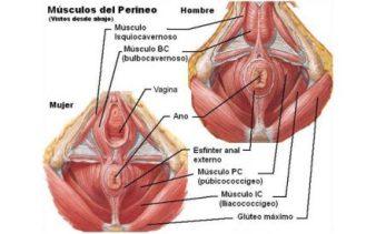 Músculos-de-la-Pelvis-440x275_c