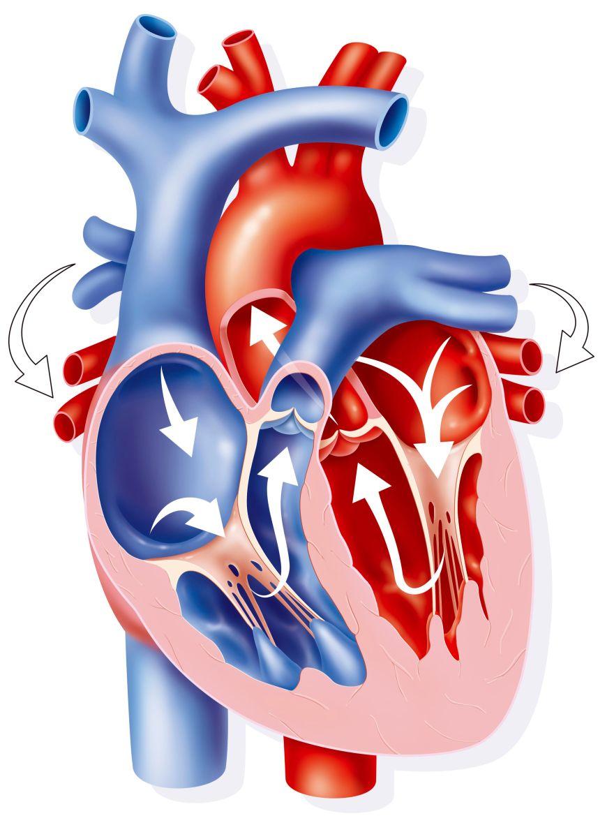 valvulas-cardiacas-56a29a0f3df78cf77277f6b4