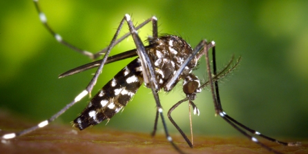 Zika_aedes